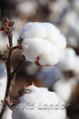 cotton-carroll_153x