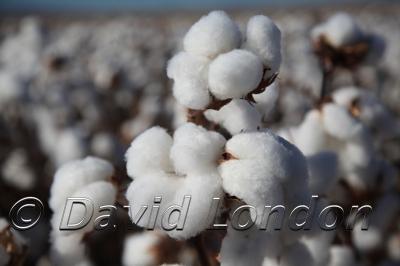 cotton-carroll_187x