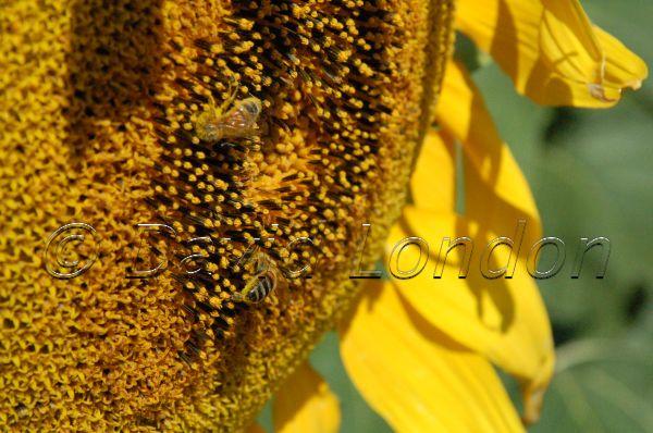 sunflower-bees20