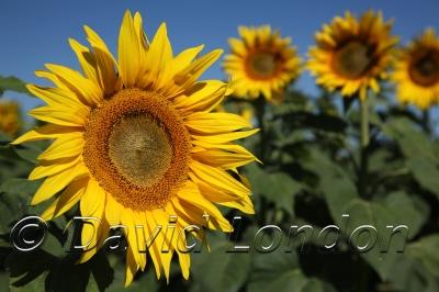 sunflowers_253x
