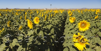 sunflowers_256x