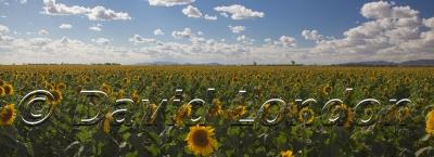 sunflowers_344x