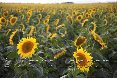 sunflowers_348x