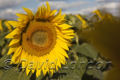 sunflowers_371x