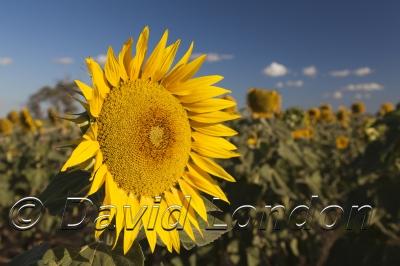sunflowers_383x