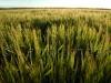 barley99