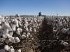 cotton-carroll_171x