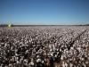 cotton-harvest_107x