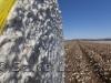 cotton-harvest_143x