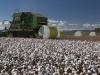 cotton-harvest_205x