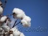 cotton-harvest_300x