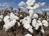 cotton-harvest_321x