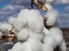 cotton-harvest_327x