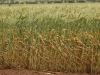 Esperance wheat79