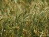 Esperance wheat81