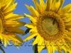 sunflowers_239x