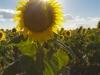 sunflowers_388x