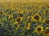 sunflowers_405x