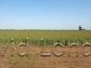 wheat-crop-wide_365