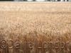 wheat-cu_128