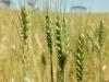 wheat-ecu-green02