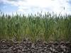 wheat-green-cu_35