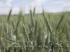 wheat-green_15