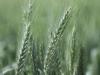 wheat-green_26