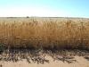wheat-sa39