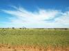 wheat-wa75