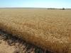 wheat Ardrossan42