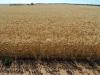 wheat Ardrossan43