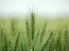 wheat cu58