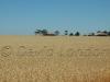 wheat Kadina53