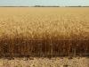 wheat Mallala52