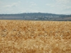 wheat Qld06