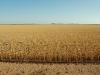 wheat SA51