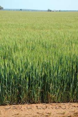 wheat-crop-end_369