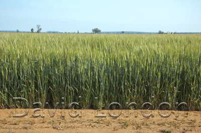 wheat-crop-end_371