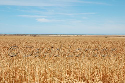 wheat-Kadina09