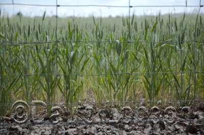 wheat-thru-fence-green_34