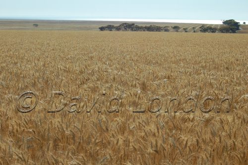 wheat Ardrossan37