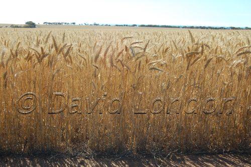 wheat Ardrossan40