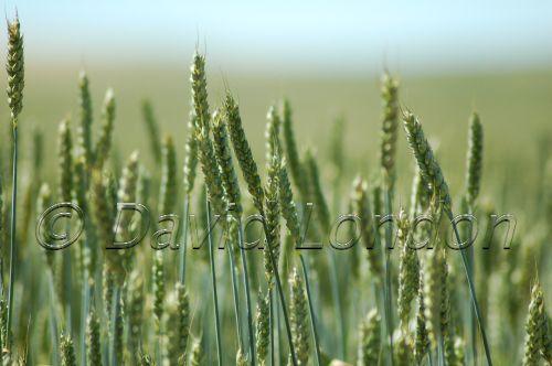 wheat Northam26