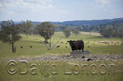 angus-cattle_58