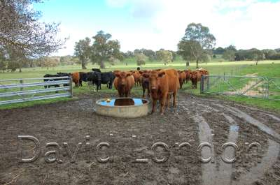 cattle-at-trough07