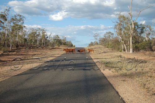 cattle-road08
