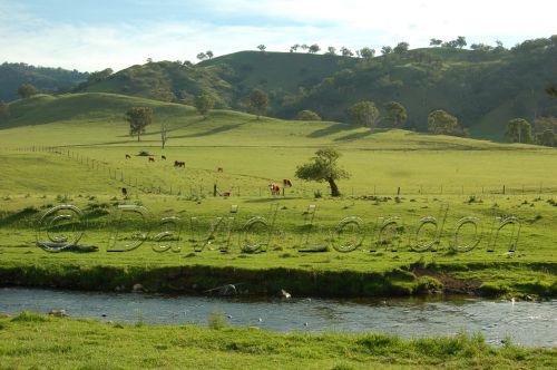cattle-stream51