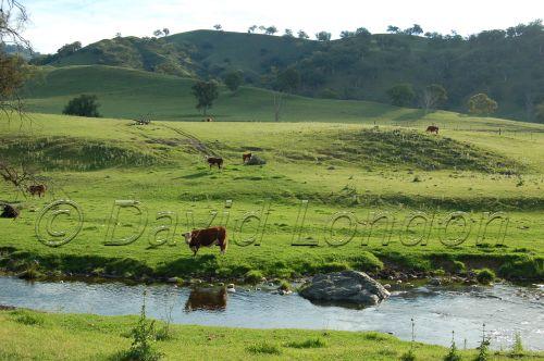 cattle-stream59