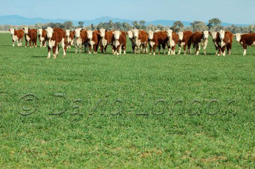 cattlepasture03